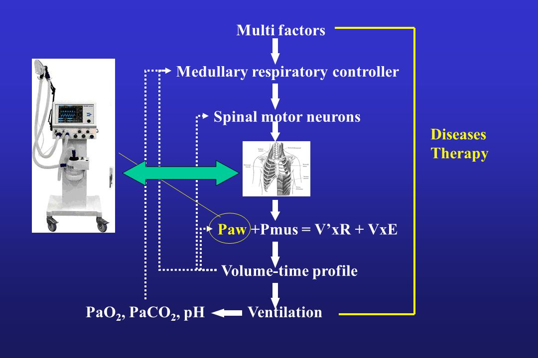 Multi factors Medullary respiratory controller. Spinal motor neurons. Diseases. Therapy. Paw +Pmus = V'xR + VxE.