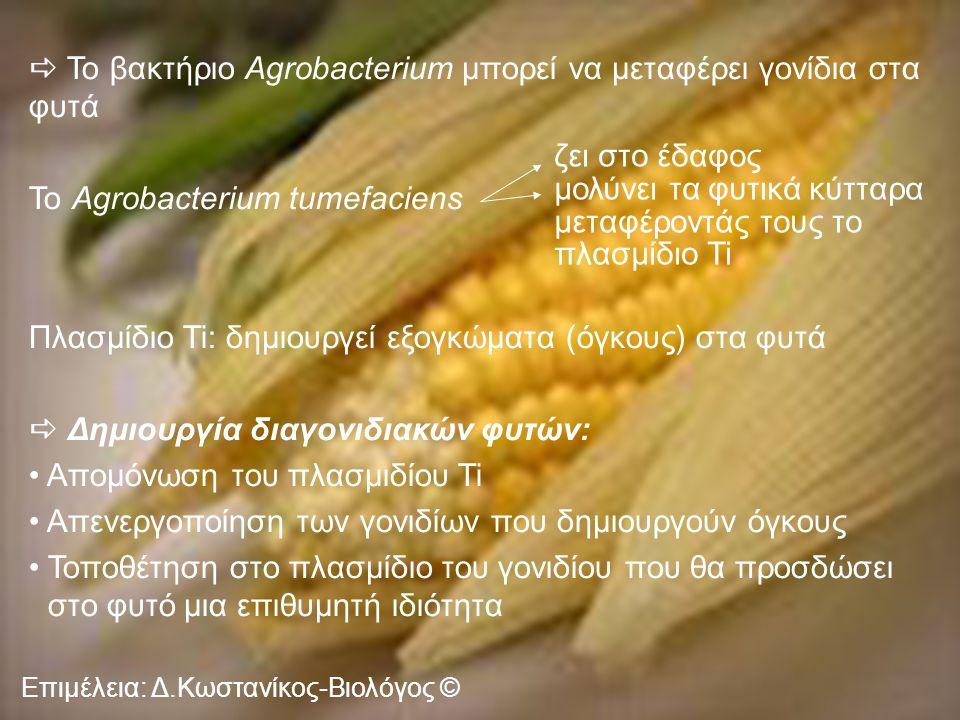 Το βακτήριο Agrobacterium μπορεί να μεταφέρει γονίδια στα φυτά