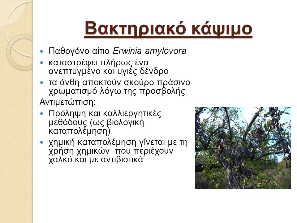 Βακτηριακό κάψιμο Παθογόνο αίτιο Erwinia amylovora