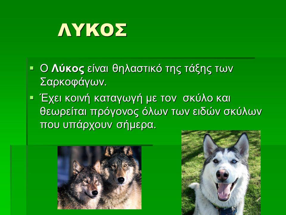 ΛΥΚΟΣ Ο Λύκος είναι θηλαστικό της τάξης των Σαρκοφάγων.