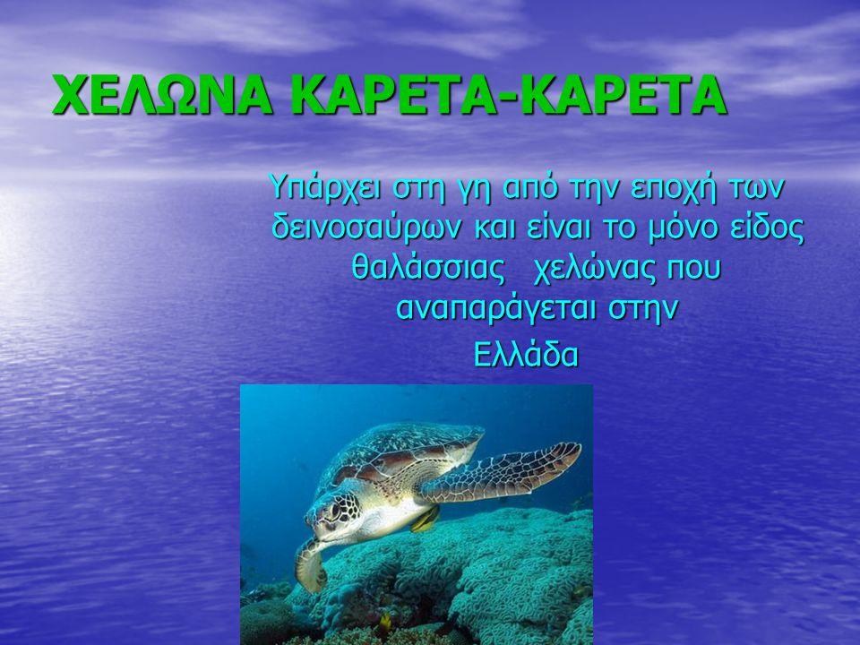 ΧΕΛΩΝΑ ΚΑΡΕΤΑ-ΚΑΡΕΤΑ Υπάρχει στη γη από την εποχή των δεινοσαύρων και είναι το μόνο είδος θαλάσσιας χελώνας που αναπαράγεται στην.