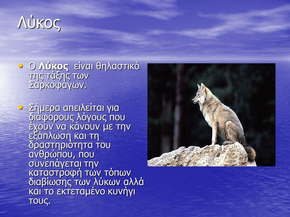 Λύκος Ο Λύκος είναι θηλαστικό της τάξης των Σαρκοφάγων.