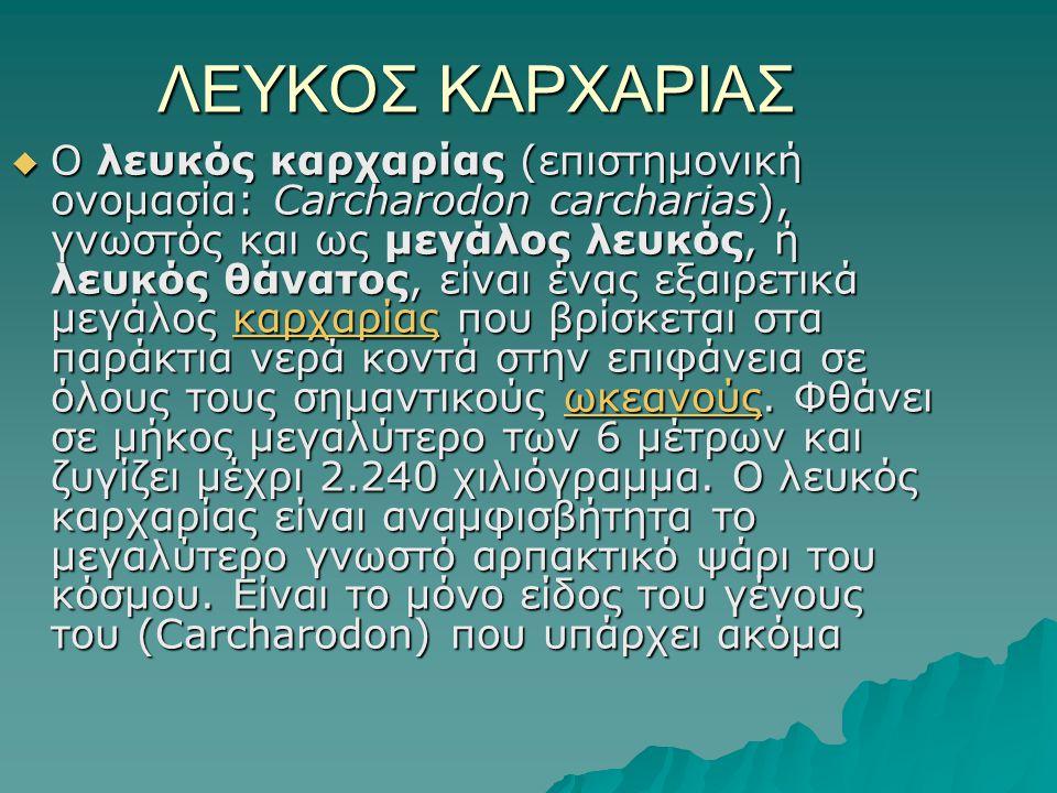 ΛΕΥΚΟΣ ΚΑΡΧΑΡΙΑΣ