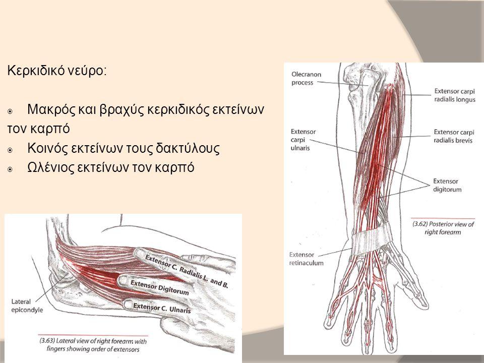 Κερκιδικό νεύρο: Μακρός και βραχύς κερκιδικός εκτείνων. τον καρπό. Κοινός εκτείνων τους δακτύλους.