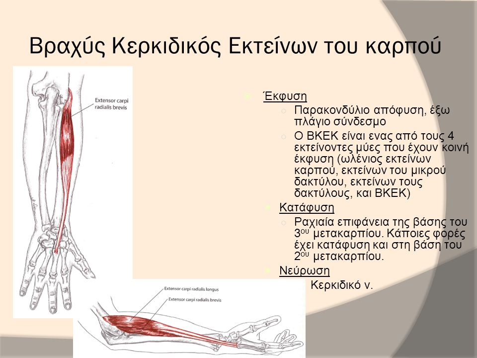 Βραχύς Κερκιδικός Εκτείνων του καρπού