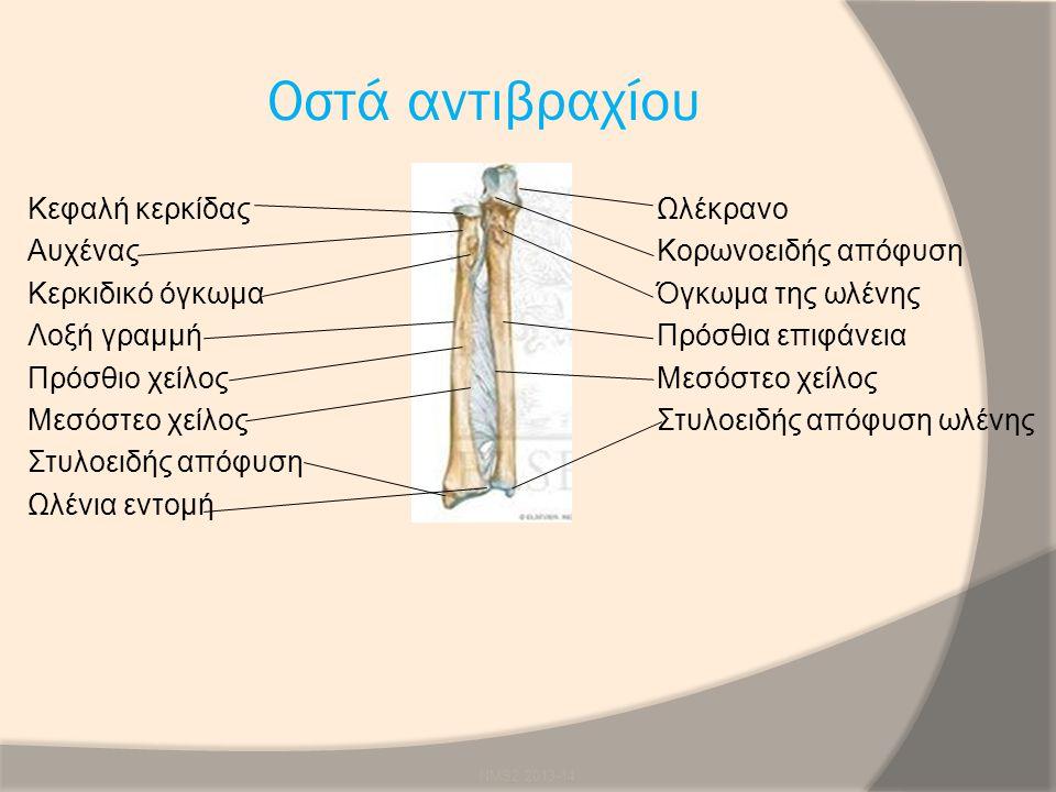 Οστά αντιβραχίου