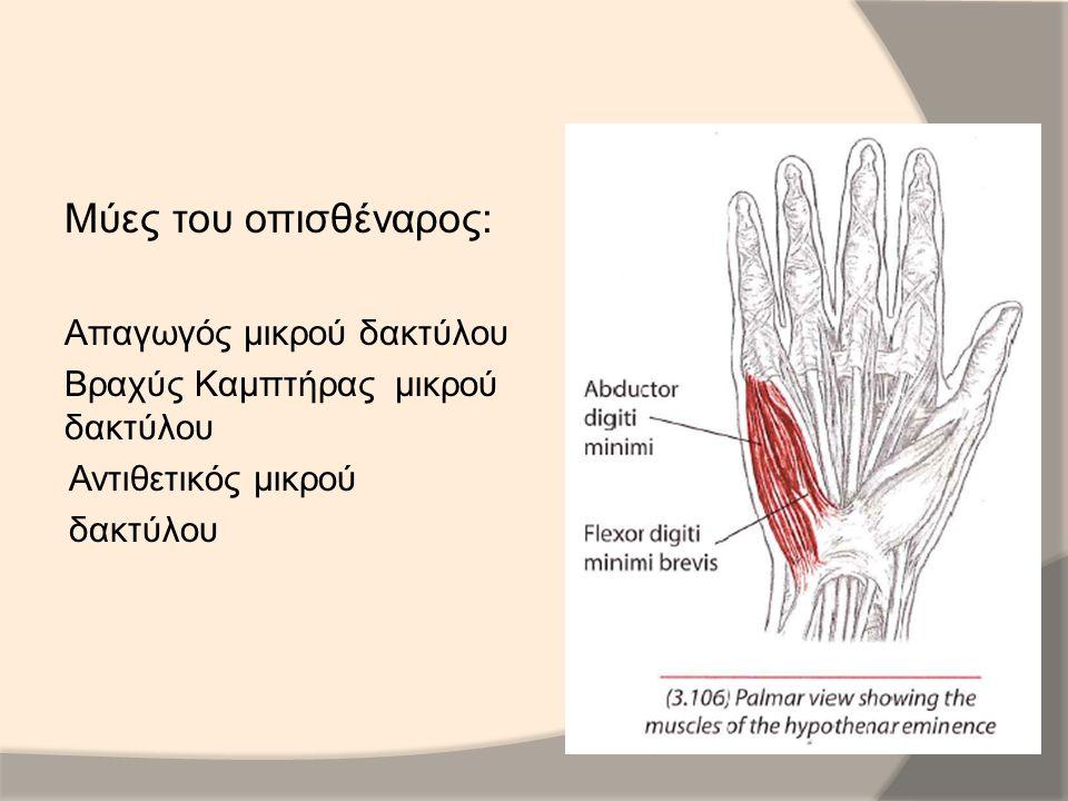 Μύες του οπισθέναρος: Απαγωγός μικρού δακτύλου