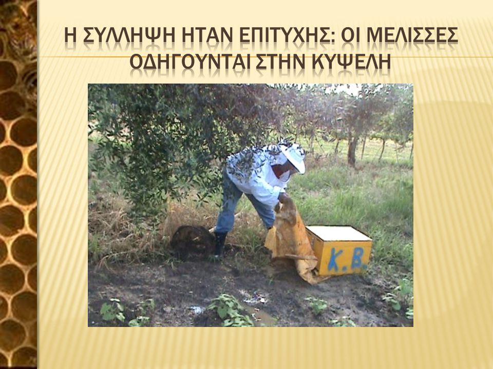 Η συλληψη ηταν επιτυχησ: Οι μελισσεσ οδηγουνται στην κυψελη