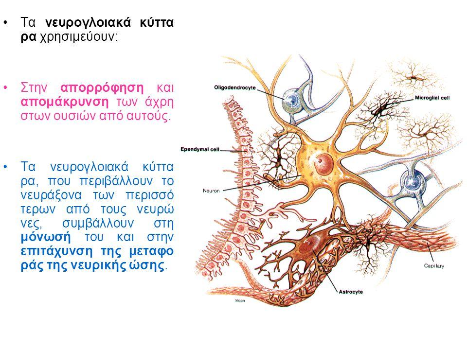 Τα νευρογλοιακά κύττα ρα χρησιμεύουν: