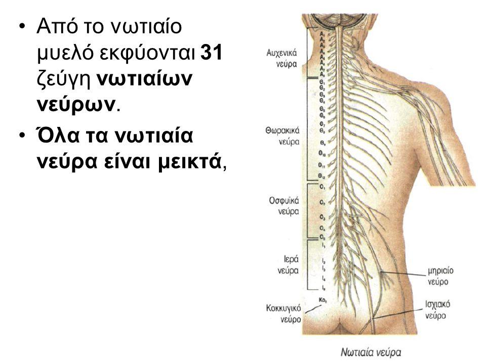 Από το νωτιαίο μυελό εκφύονται 31 ζεύγη νωτιαίων νεύρων.