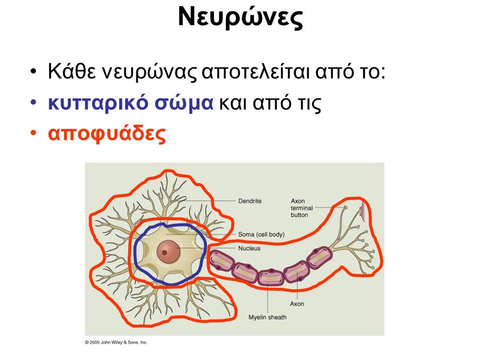 Νευρώνες Κάθε νευρώνας αποτελείται από το: κυτταρικό σώμα και από τις