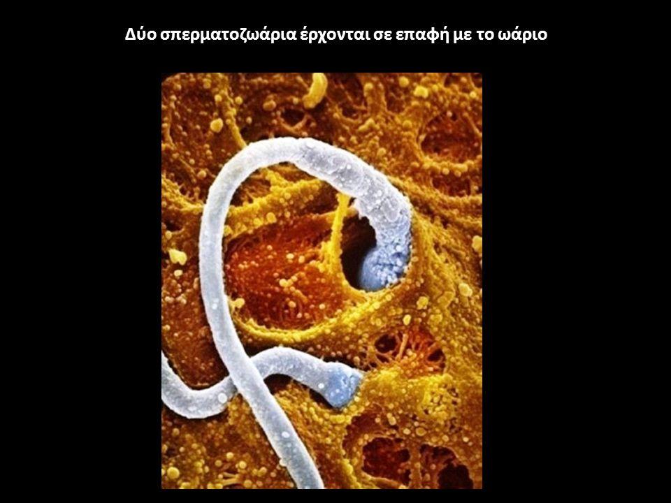 Δύο σπερματοζωάρια έρχονται σε επαφή με το ωάριο