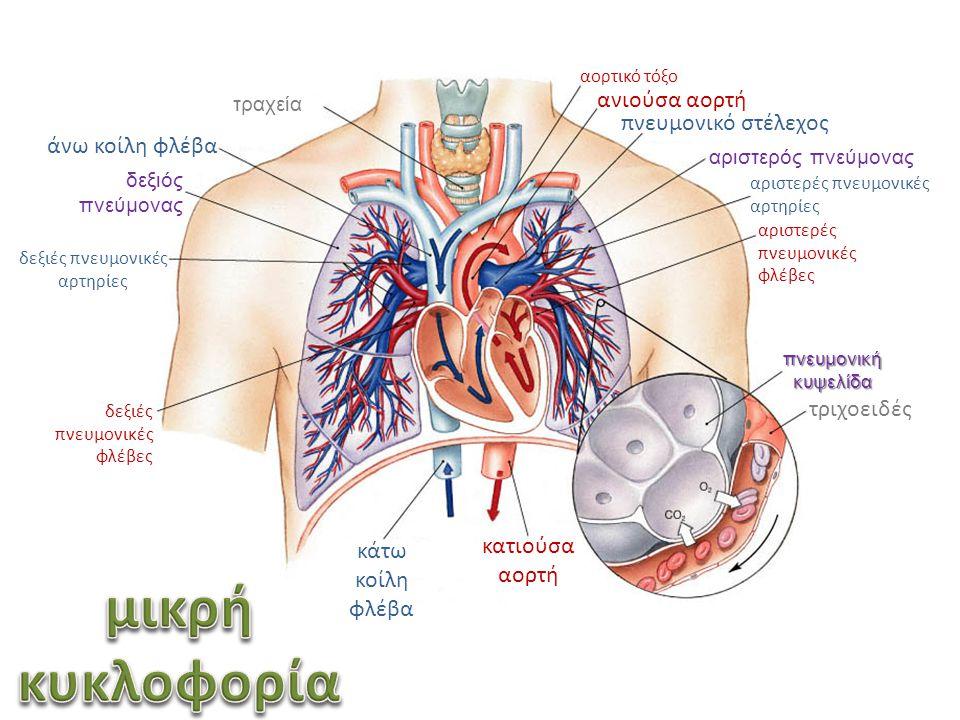 δεξιές πνευμονικές αρτηρίες