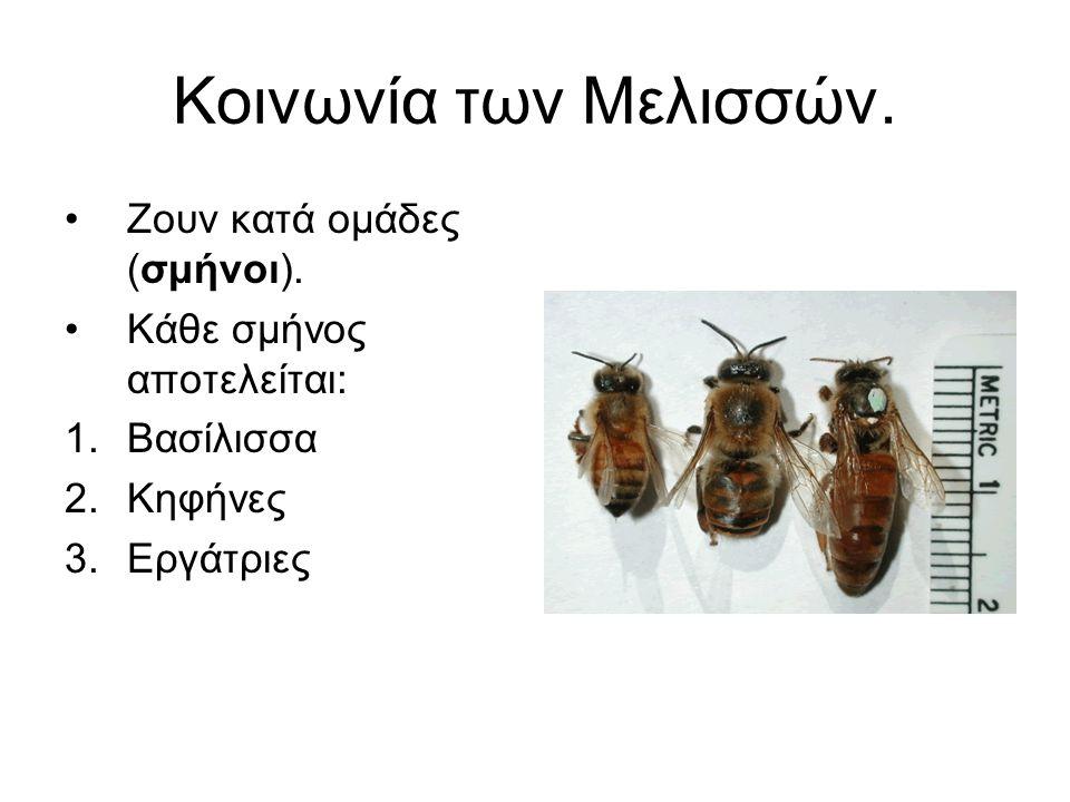 Κοινωνία των Μελισσών. Ζουν κατά ομάδες (σμήνοι).