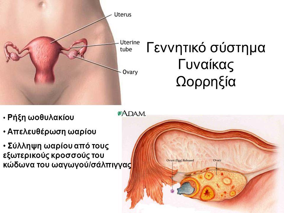 Γεννητικό σύστημα Γυναίκας Ωορρηξία