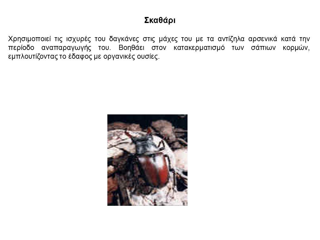 Σκαθάρι