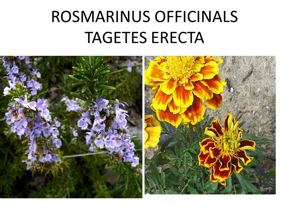 ROSMARINUS OFFICINALS TAGETES ERECTA