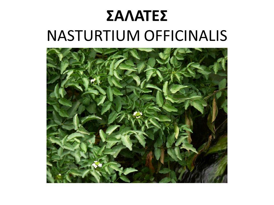 ΣΑΛΑΤΕΣ NASTURTIUM OFFICINALIS