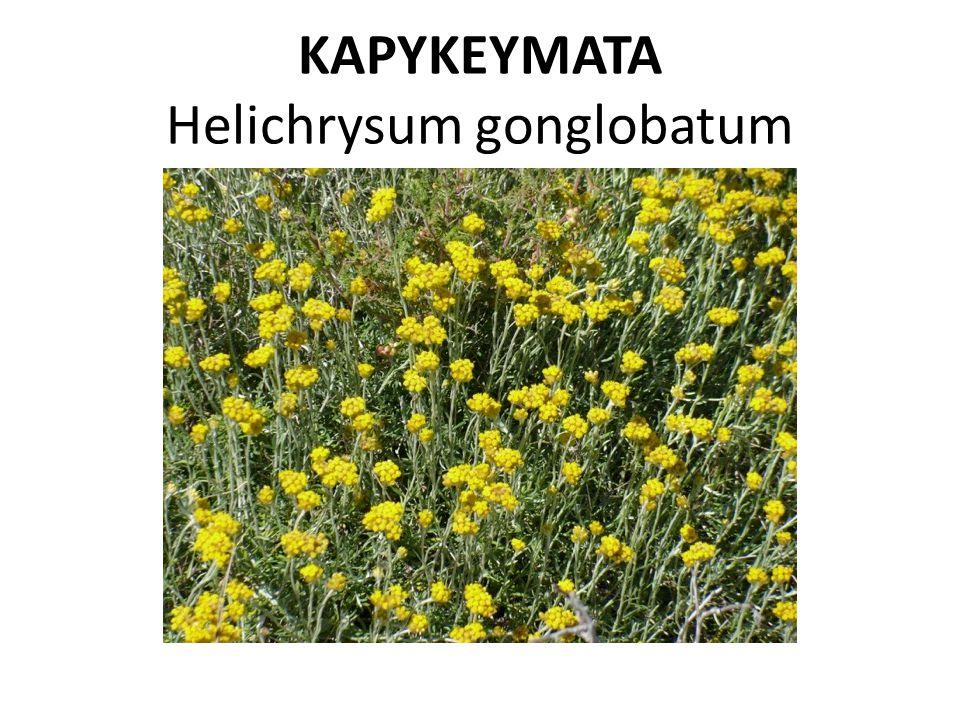 ΚΑΡΥΚΕΥΜΑΤΑ Helichrysum gonglobatum
