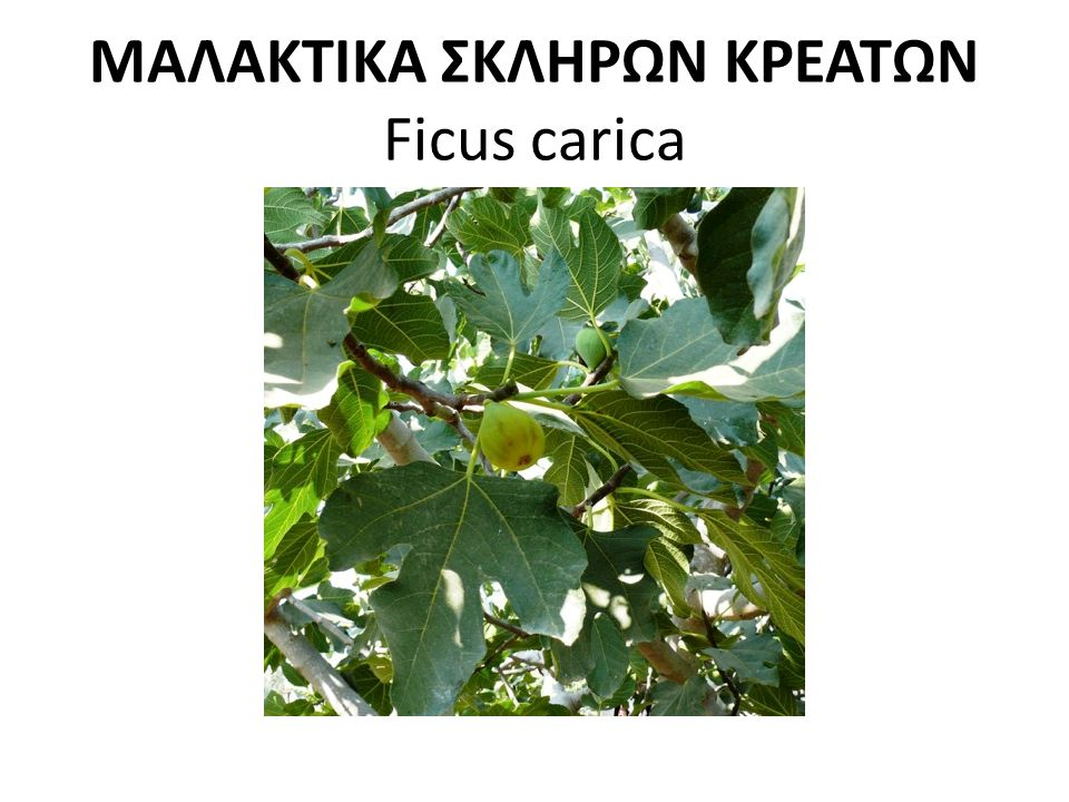 ΜΑΛΑΚΤΙΚΑ ΣΚΛΗΡΩΝ ΚΡΕΑΤΩΝ Ficus carica