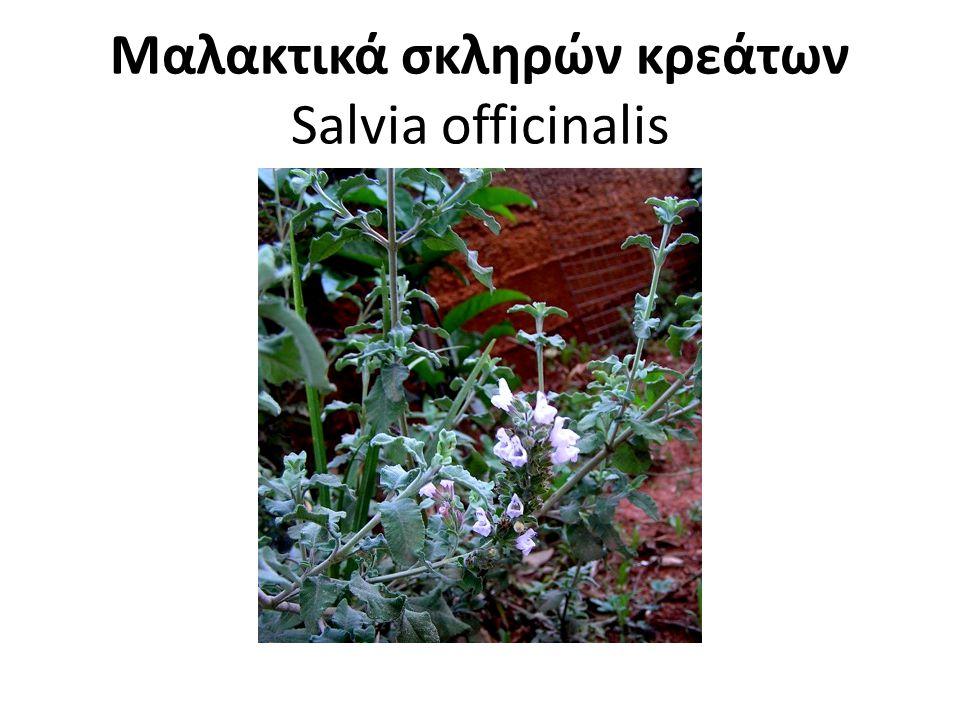 Μαλακτικά σκληρών κρεάτων Salvia officinalis