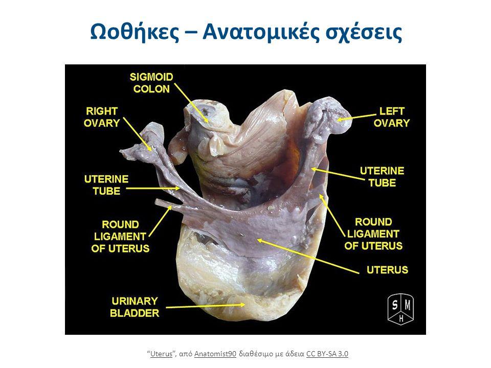Μικροανατομία ωοθηκών