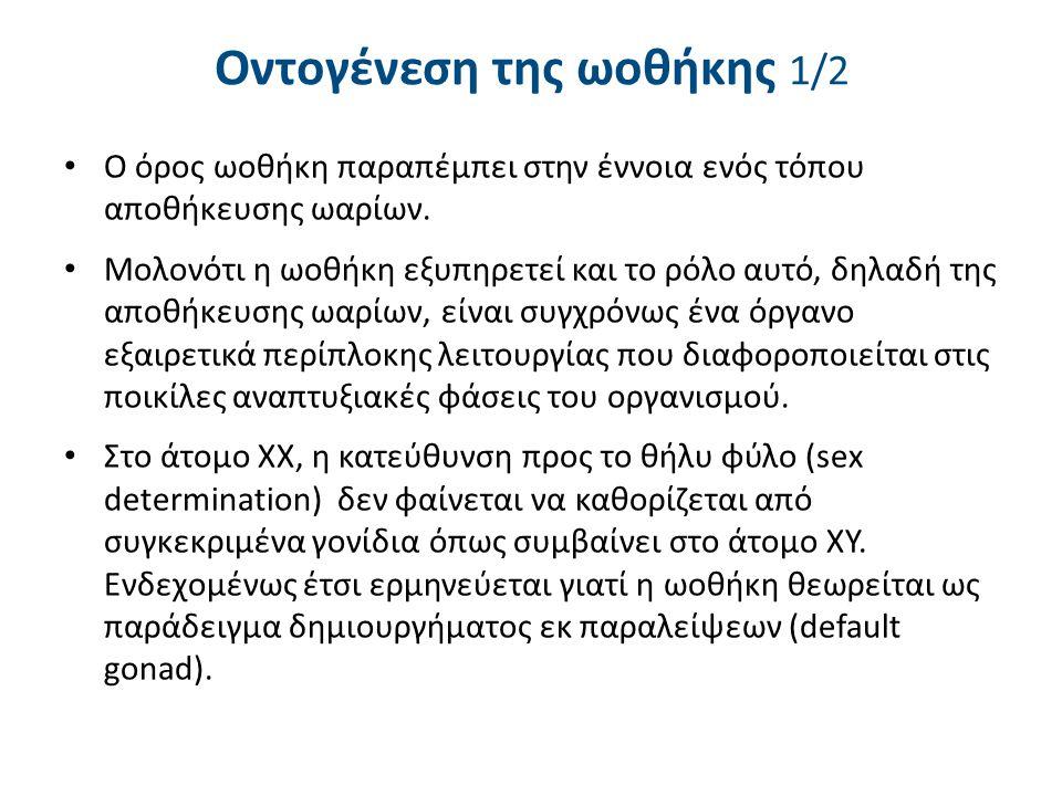 Οντογένεση της ωοθήκης 2/2