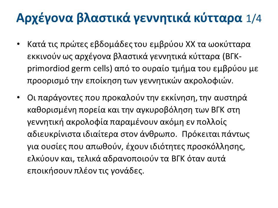 Αρχέγονα βλαστικά γεννητικά κύτταρα 2/4