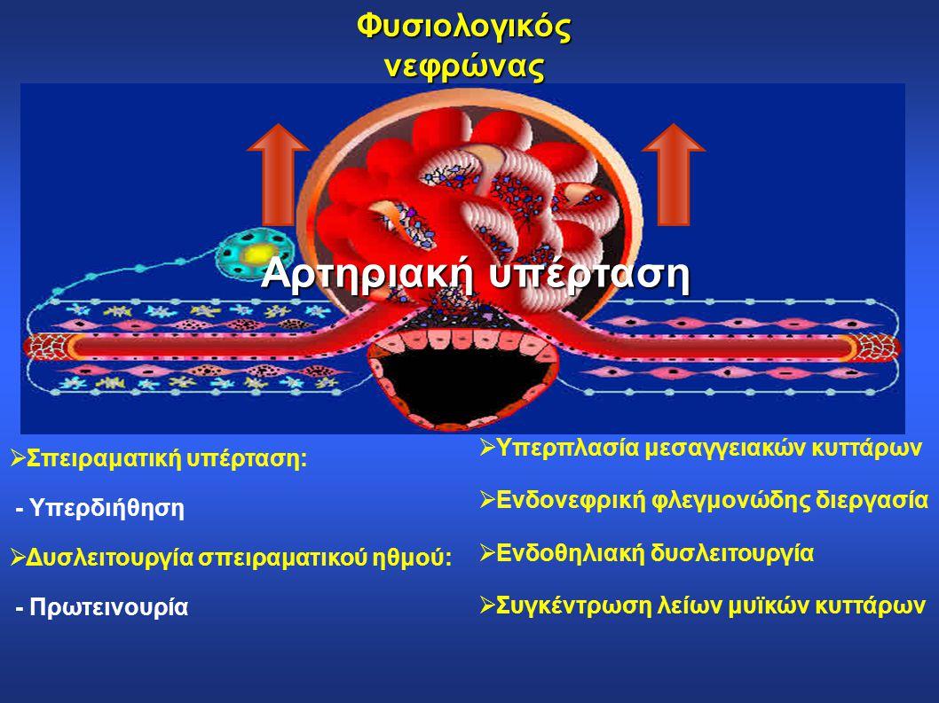 Φυσιολογικός νεφρώνας