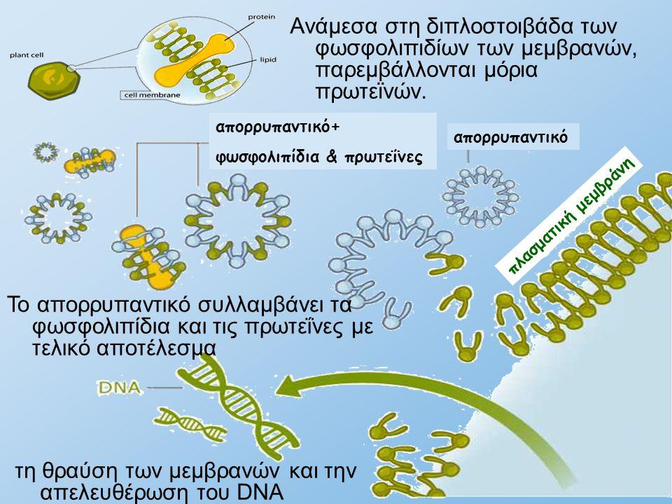 τη θραύση των μεμβρανών και την απελευθέρωση του DNA