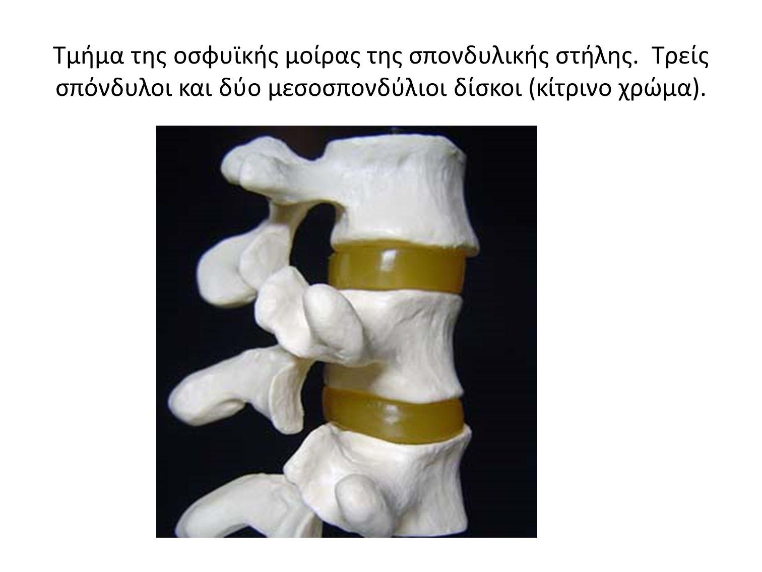 Τμήμα της οσφυϊκής μοίρας της σπονδυλικής στήλης