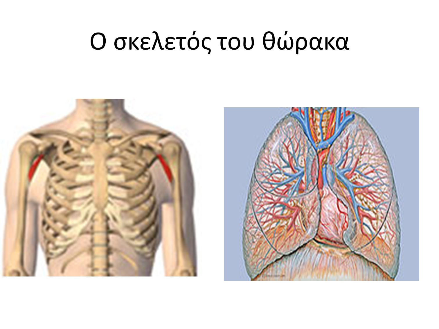Ο σκελετός του θώρακα