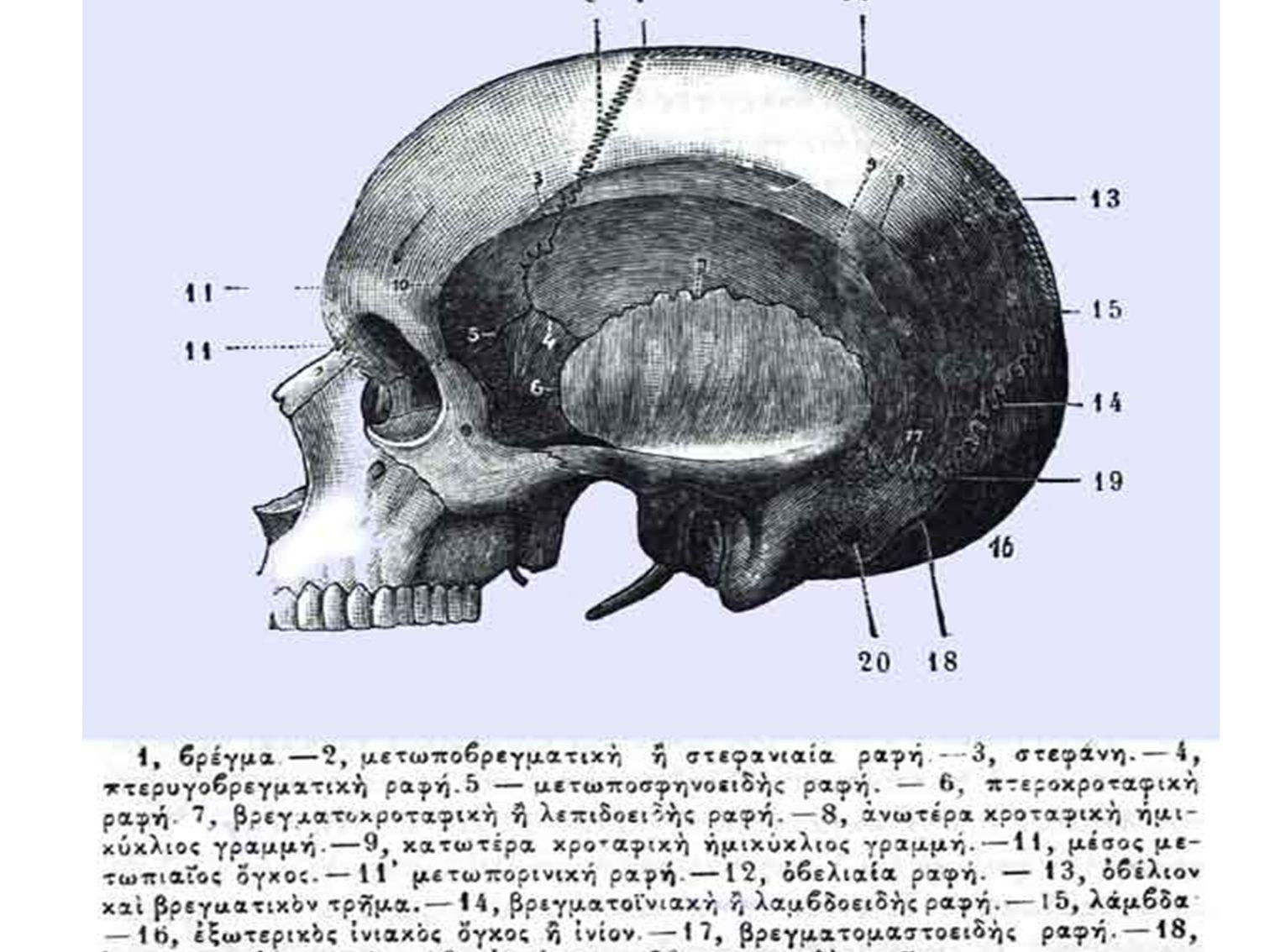 Μετωπιαίο, σφηνοειδές, οστά της μύτης, άνω γνάθος, κάτω γνάθος, μασοειδής απόφυση, στόμιο ακουστικού πόρου, ινιακό.