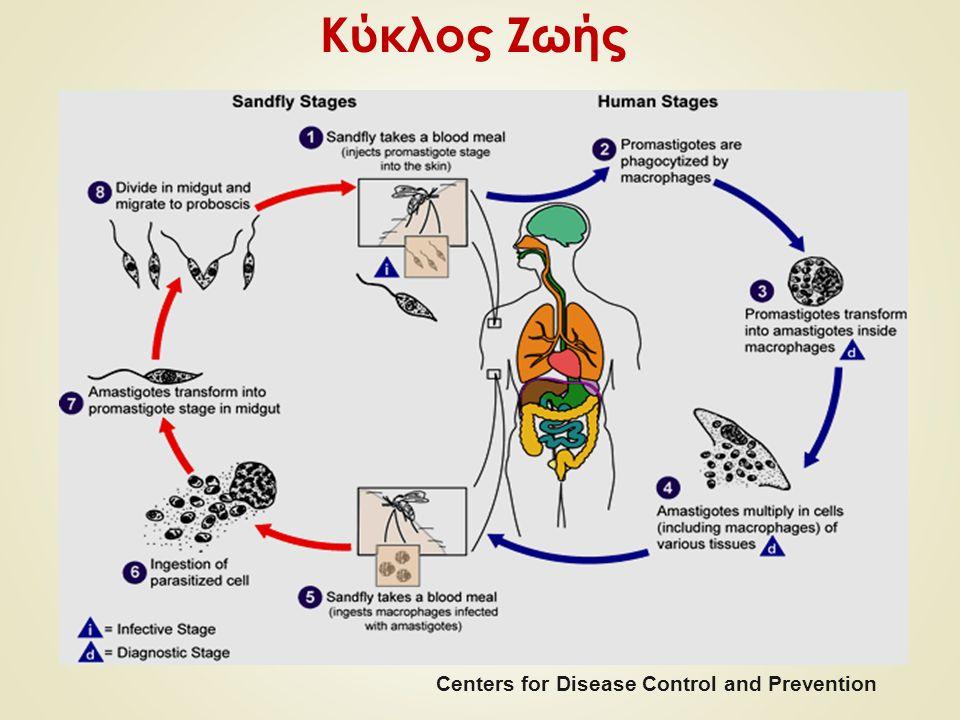 Κύκλος Ζωής Centers for Disease Control and Prevention
