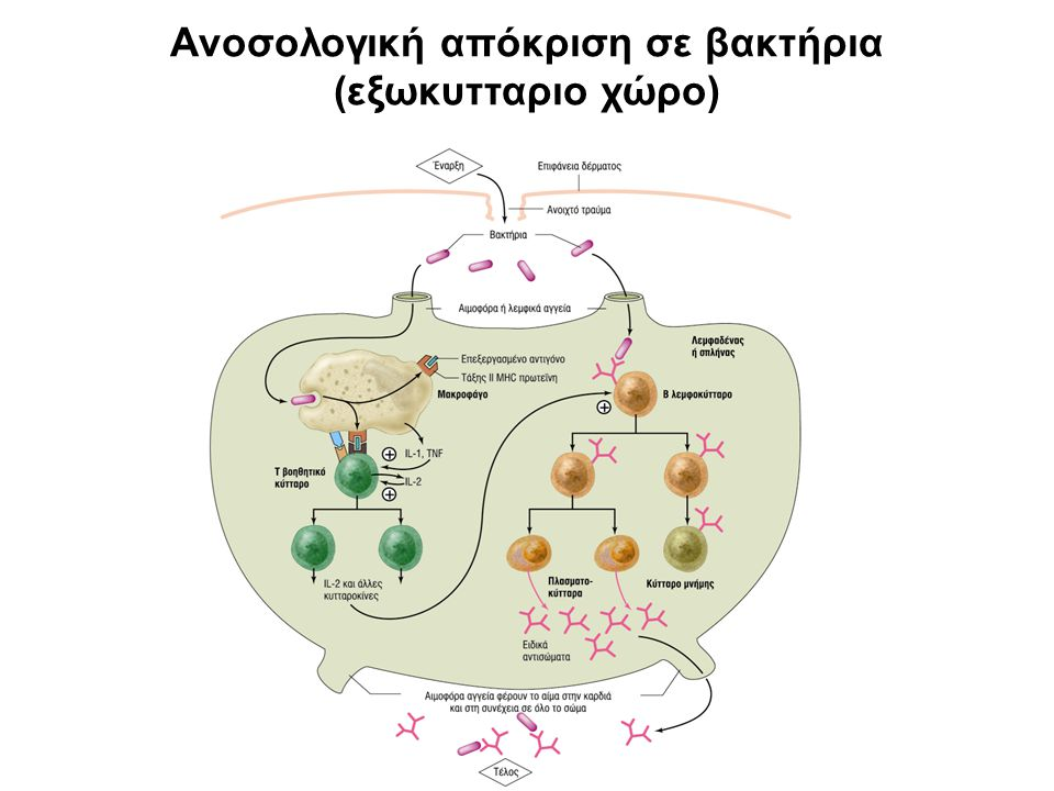 Ανοσολογική απόκριση σε βακτήρια (εξωκυτταριο χώρο)