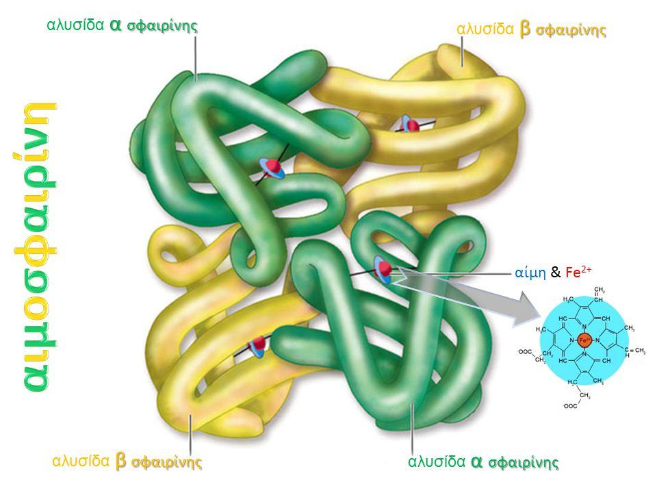 αιμοσφαιρίνη αλυσίδα α σφαιρίνης αλυσίδα β σφαιρίνης αίμη & Fe2+