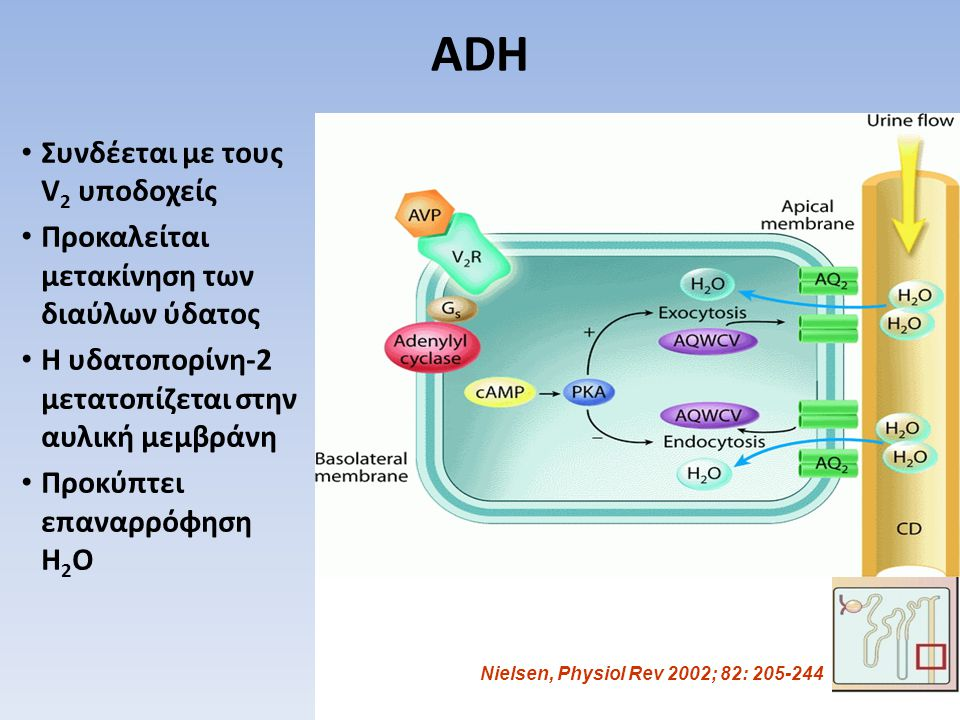 ADH Συνδέεται με τους V2 υποδοχείς