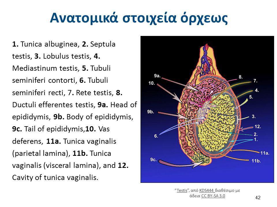 Ανδρικό αναπαραγωγικό σύστημα
