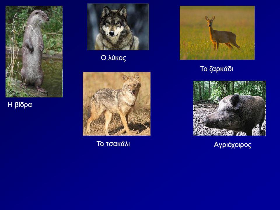 Ο λύκος Το ζαρκάδι Η βίδρα Το τσακάλι Αγριόχοιρος