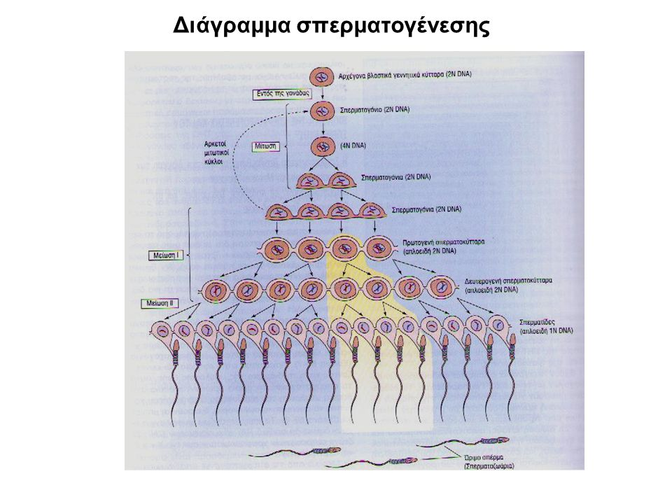 Διάγραμμα σπερματογένεσης