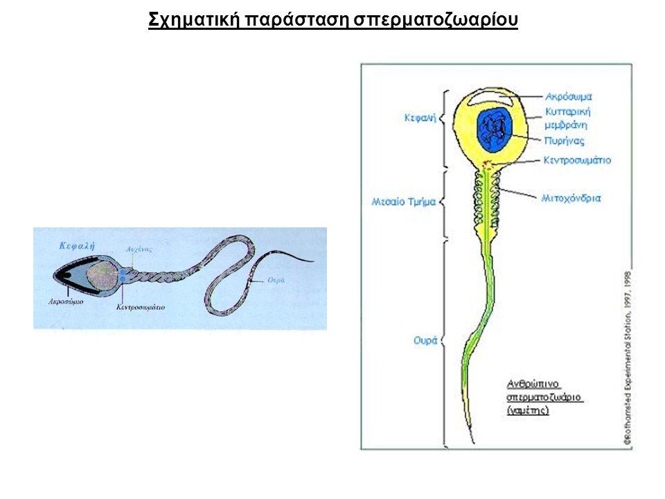 Σχηματική παράσταση σπερματοζωαρίου