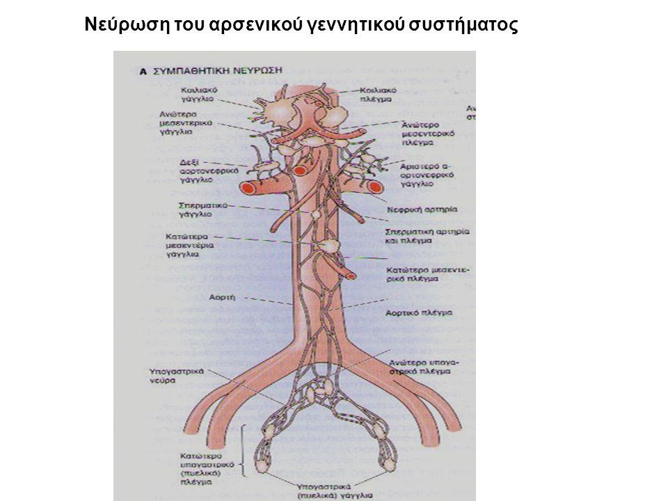 Νεύρωση του αρσενικού γεννητικού συστήματος
