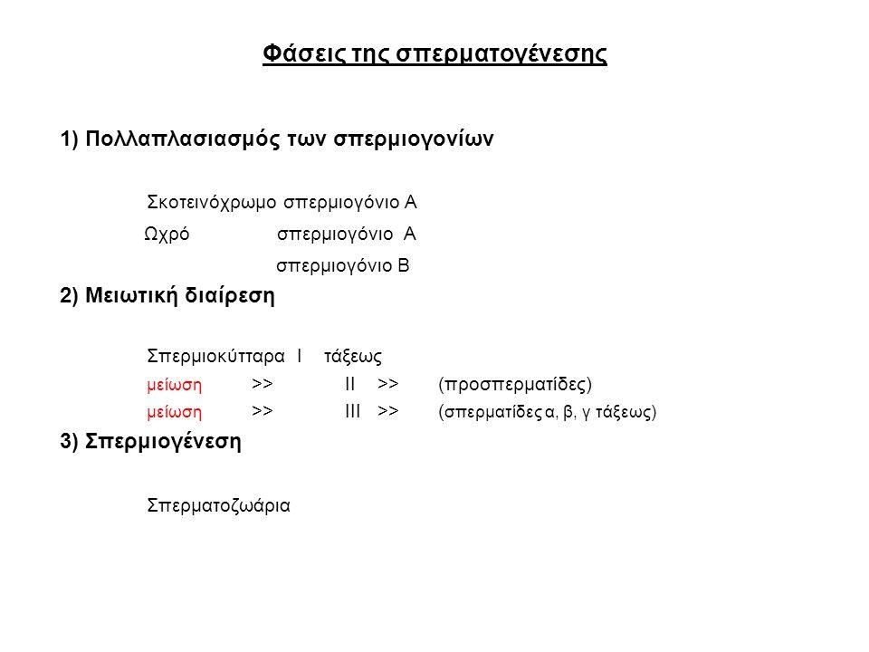 Φάσεις της σπερματογένεσης