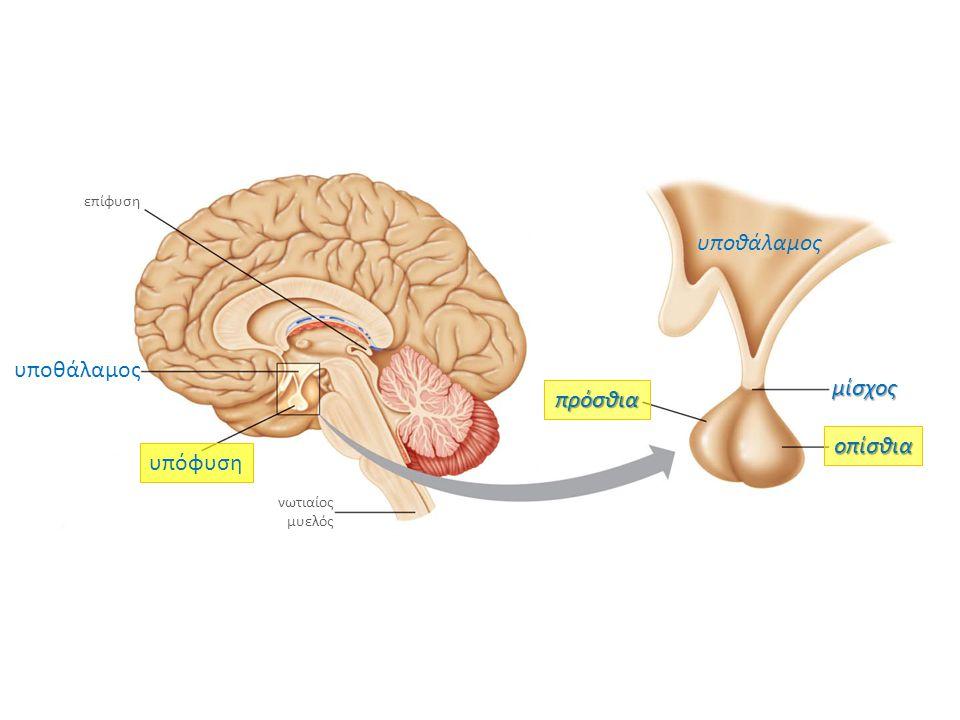 υποθάλαμος υποθάλαμος μίσχος πρόσθια οπίσθια υπόφυση επίφυση