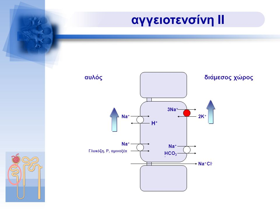 αγγειοτενσίνη ΙΙ αυλός διάμεσος χώρος H+ 3Na+ Na+ 2K+ Na+ Na+ HCO3-