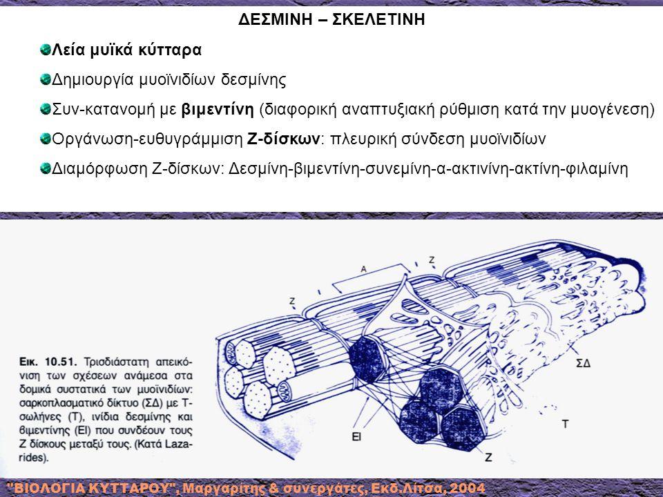 Δημιουργία μυοϊνιδίων δεσμίνης