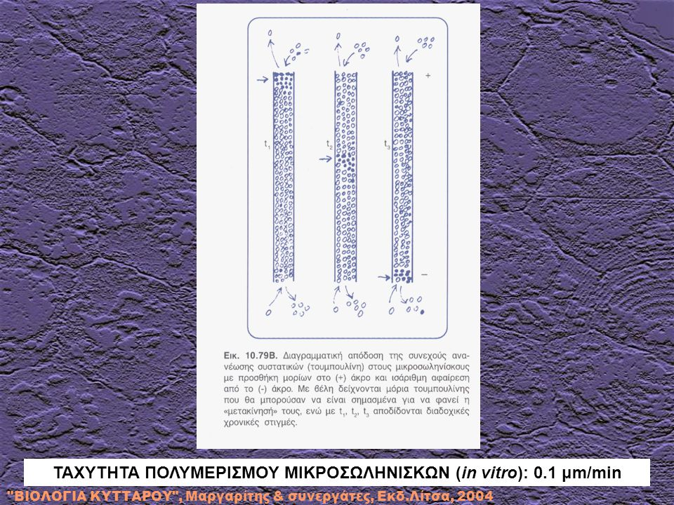 ΤΑΧΥΤΗΤΑ ΠΟΛΥΜΕΡΙΣΜΟΥ ΜΙΚΡΟΣΩΛΗΝΙΣΚΩΝ (in vitro): 0.1 μm/min