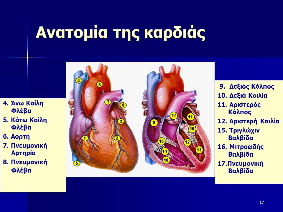 Ανατομία της καρδιάς 9. Δεξιός Κόλπος 10. Δεξιά Κοιλία