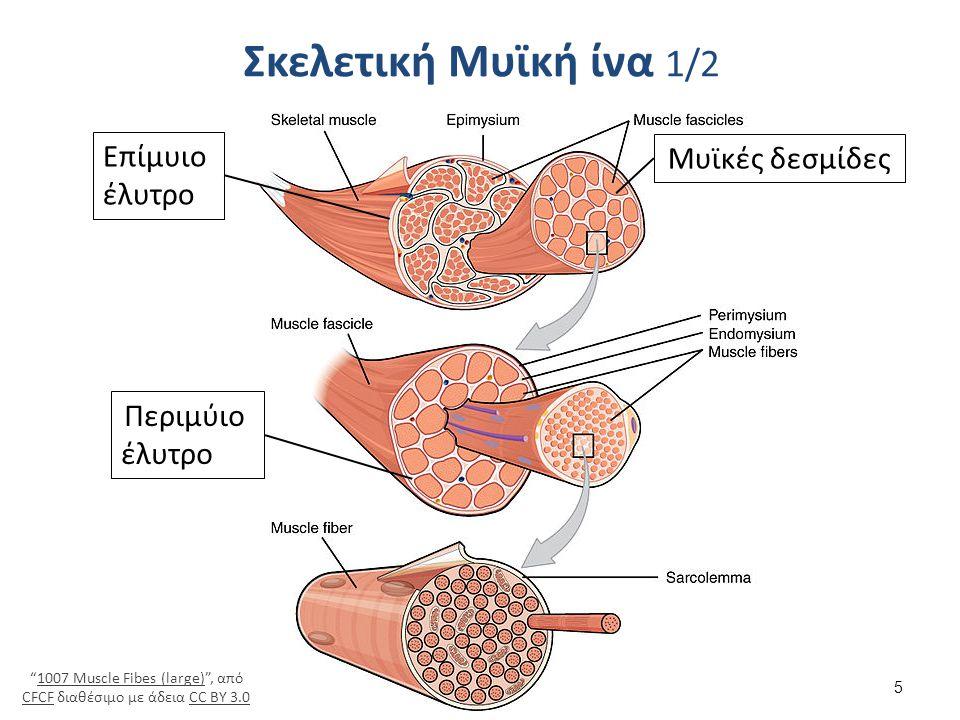 Σκελετική Μυϊκή ίνα 2/2 Μιτοχόνδρια Μυϊκά ινίδια Σαρκείλλημα