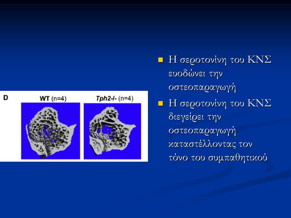 Η σεροτονίνη του ΚΝΣ ευοδώνει την οστεοπαραγωγή
